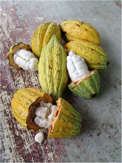 Cocoa fruits and beans
